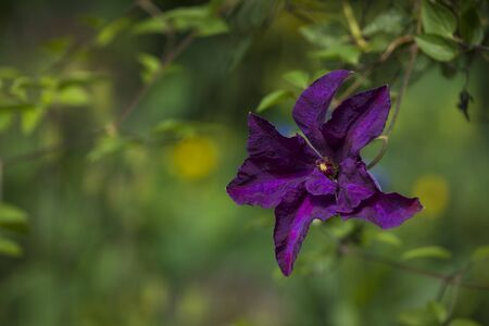 Purple Clematis blossom  in a garden with copy space