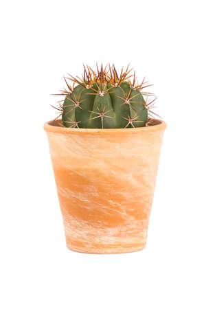 Small cactus plant, Melocactus azureus genus, in a terra cotta flower pot isolated on white background 写真素材