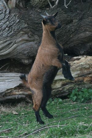 goat standing up