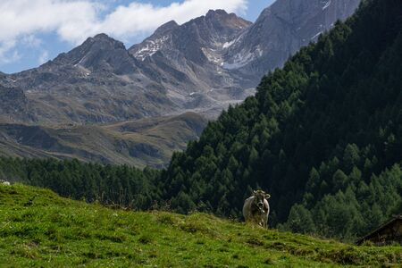 Alpine cow on meadow in front of mountains