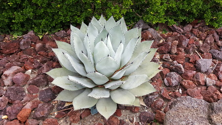 agave parryi. huachucensis means a lucky cactus