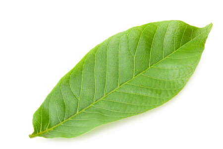 one green leaf of walnut isolated on a white background Imagens