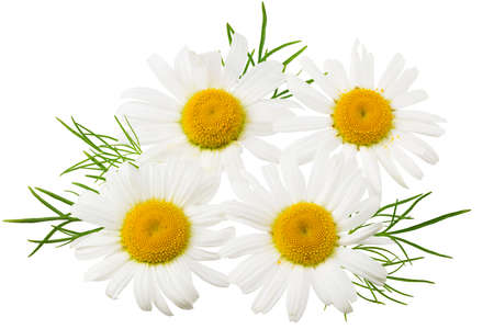 chamomile isolated on a white background. daisy flower. Imagens