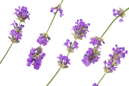 lavender flowers isolated on white background. top view Imagens