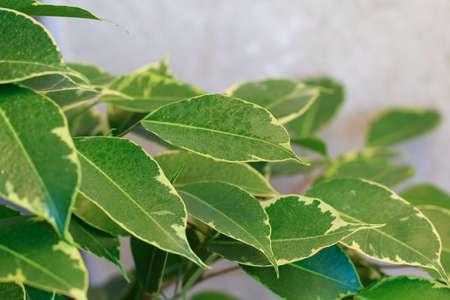 ficus: ficus tree leaves