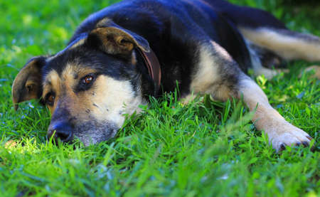 old mixedbreed dog in the grass Stock Photo