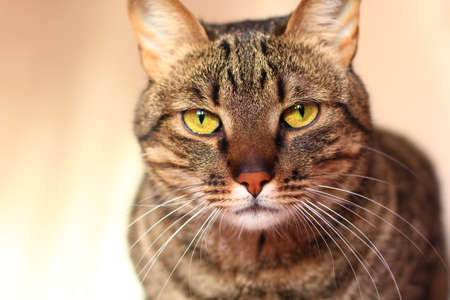 tabby cat with bright yellow eyes