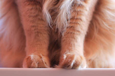 fluffy: fluffy cat paws Stock Photo