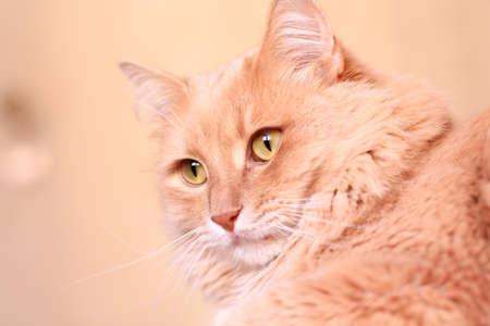 fluffy: fluffy ginger cat