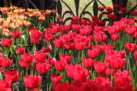 red tulips: Red tulips garden