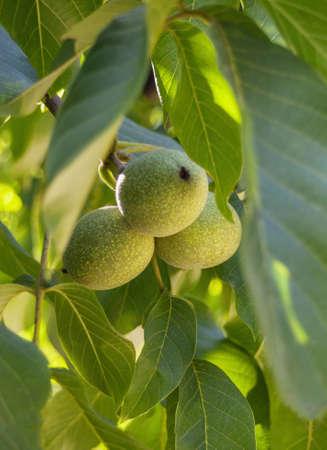 potherb: Three walnuts on a tree at sunset Stock Photo