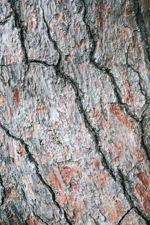 Bark of pine tree background. Macro photo. Nature concept.