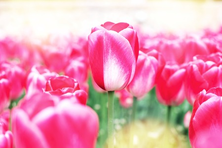 Amazing pink decorative tulip close up at spring field with sunlight.