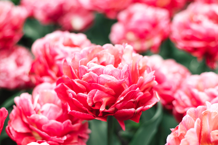 Amazing pink decorative tulip close up at spring field. Stock Photo