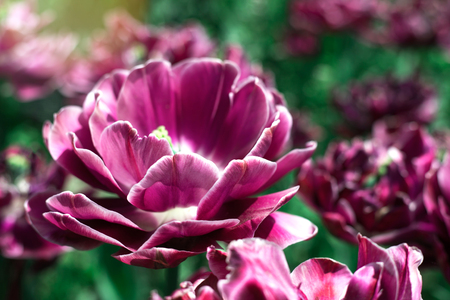 Violet decorative tulip close up at spring field. Stock Photo