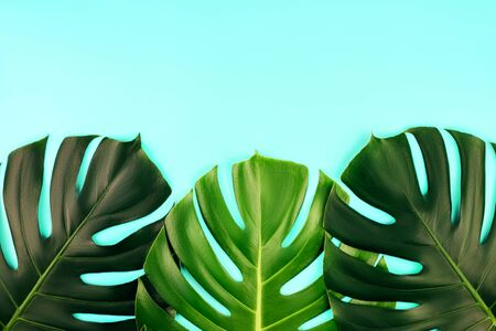 Three tropical jungle monstera leaves isolated on blue background. Flat lay style. Stock fotó