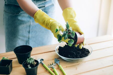Planting decorative plants at home. Hands of a young woman planting in the flower pot. Stock fotó
