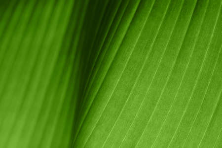 Macro photo of fresh bananas leaf. Nature exotic concept. Stockfoto