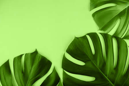 Three tropical jungle monstera leaves isolated on green background. Flat lay style.