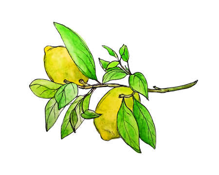 food industry: Vector illustration of lemon branch painted by hand in watercolor. Beautiful design element, perfect for any business related to the food industry.