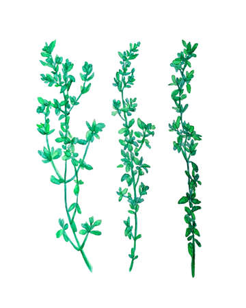 thyme: Hand painted watercolor thyme plants made in vector. Illustration