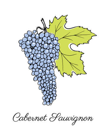 cabernet sauvignon: Vector illustration of hand drawn Cabernet Sauvignon vine with leaf. Beautiful design elements.