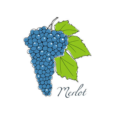 Vector illustration of hand drawn Merlot vine with leaf. Beautiful design elements.