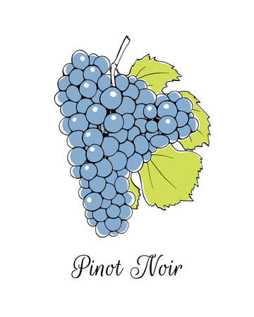 species of creeper: Vector illustration of hand drawn Pinot Noir vine with leaf. Beautiful design elements.