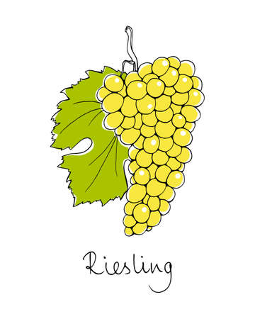 species of creeper: Vector illustration of hand drawn Riesling vine with leaf. Beautiful design elements.
