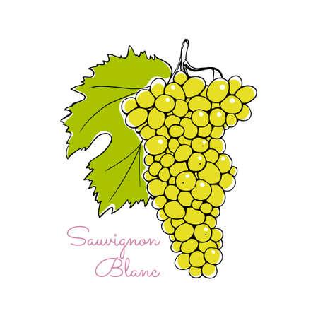 blanc: Vector illustration of hand drawn Sauvignon Blanc vine with leaf. Beautiful design elements.
