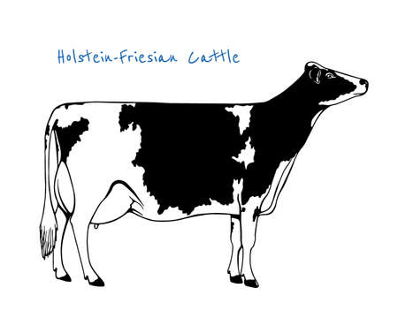 Vector illustration of hand drawn Holstein-Friesian cattle. Beautiful ink drawing of dairy cow.