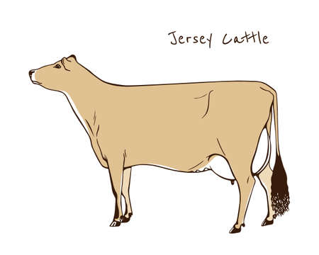 Vector illustration of hand drawn Jersey cattle. Beautiful ink drawing of dairy cow.
