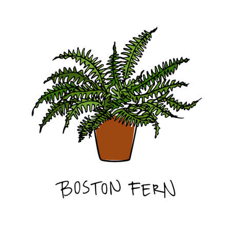 Vector illustration of hand drawn boston fern in a pot. Beautiful floral design elements.