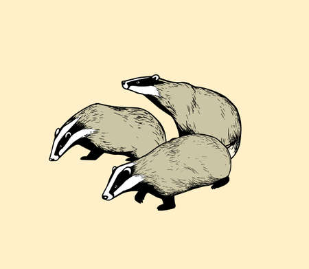 Hand drawn illustration of 3 badgers, isolated on color background