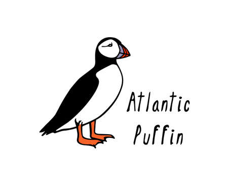 A Vector illustration of  hand drawn cute atlantic puffin on white background. Funny puffin character, beautiful design elements.