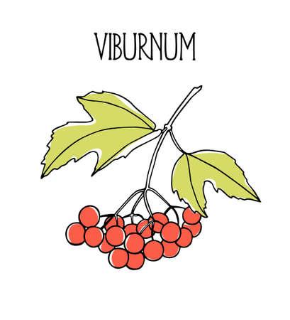 guelder rose: Vector illustration of hand drawn viburnum twig. Beautiful food design elements, ink drawing