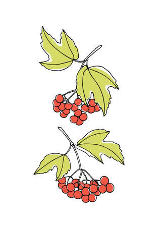 guelder rose: Vector graphic set of hand drawn viburnum twigs. Beautiful food design elements, ink drawing