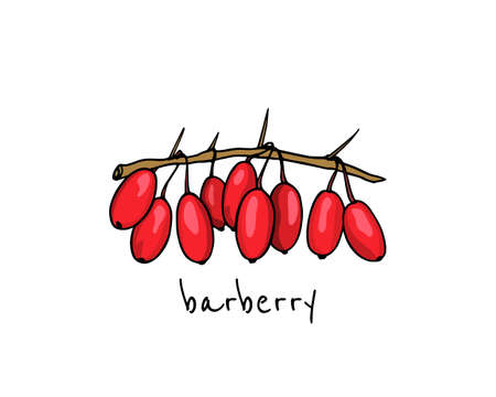 Vector illustration of hand drawn barberry twig. Beautiful floral design elements, ink drawing