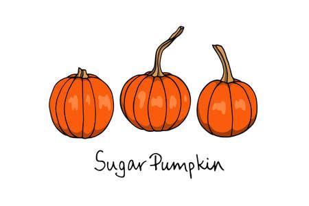 Vector illustration of hand drawn sugar pumpkins. Ink drawing, beautiful vegetarian design elements. Illustration