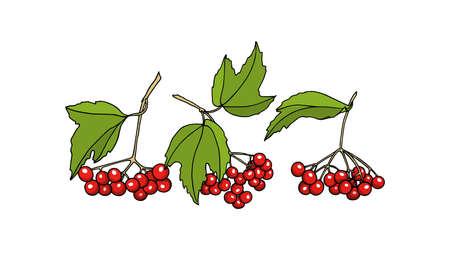 guelder rose: Hand drawn viburnum twigs.