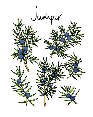 Vector card with hand drawn juniper twigs. Beautiful floral design elements, ink drawing