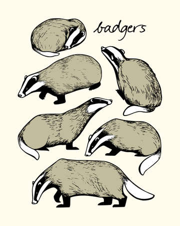 Illustration of hand drawn badgers. Ink drawing, graphic style. Beautiful design elements.