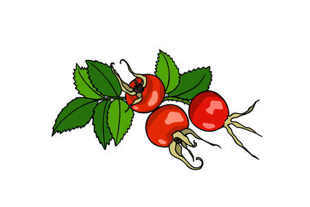 Vector illustration of hand drawn dog rose twig. Beautiful dog rose products design elements, ink drawing. Vettoriali