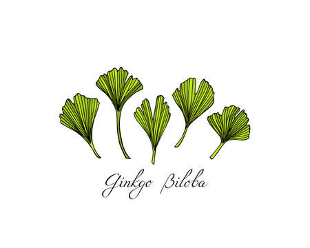 Vector illustration of hand drawn Ginkgo biloba leaves. Ink drawing, graphic style, logo template.