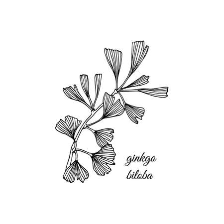 Vector illustration of hand drawn Ginkgo biloba branch. Ink drawing, graphic style.