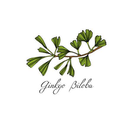 Hand drawn ginkgo plant Vector illustration. 版權商用圖片 - 97559710