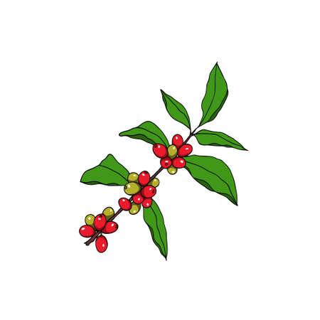 Hand drawn coffee plant illustration.