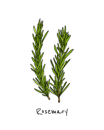 Vector illustration of hand drawn rosemary twigs. Beautiful food design elements, ink drawing.