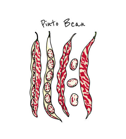 Vector card with hand drawn Pinto bean pods. Beautiful food design elements, ink drawing