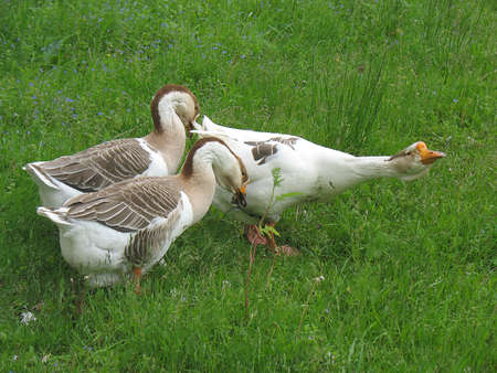 hiss: Three geese with the leader have curved necks hiss attack. Stock Photo